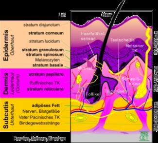 Bild über den Aufbau der menschlichen Haut
